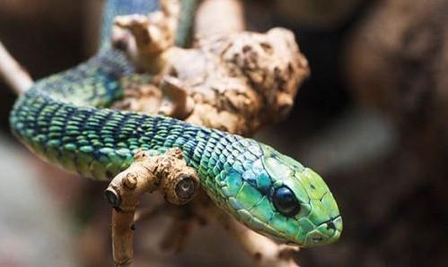 """> 科学家在中国境内首次发现有毒恐龙(组图)  现代""""后毒牙""""蛇类  &nbs"""